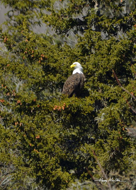 Eagle Poster featuring the photograph Streamside Eagle by Harry Moulton