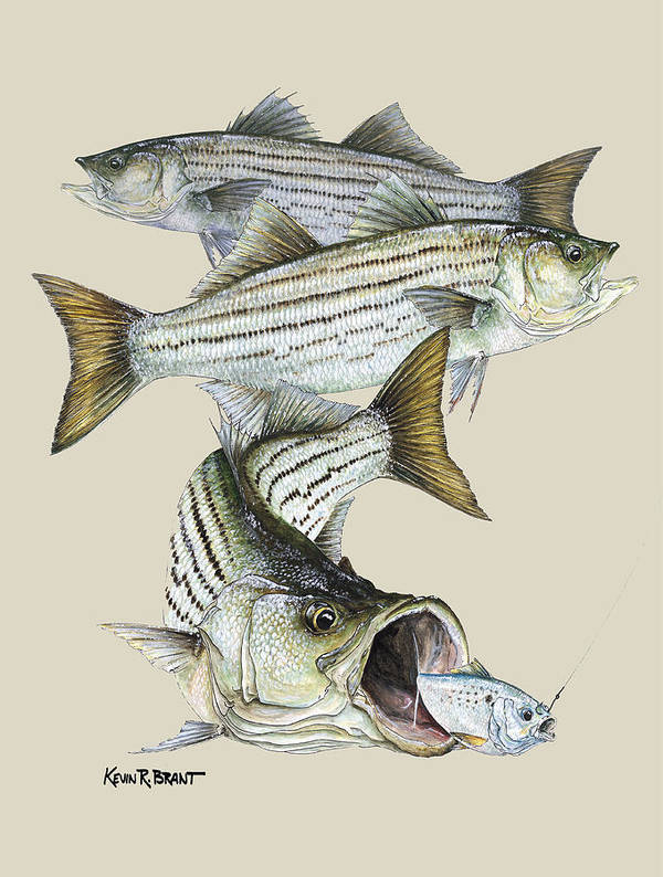 Bass Poster featuring the painting Striped Bass by Kevin Brant