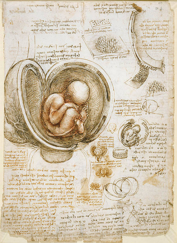 Studies Of The Fetus In The Womb Poster By Leonardo Da Vinci