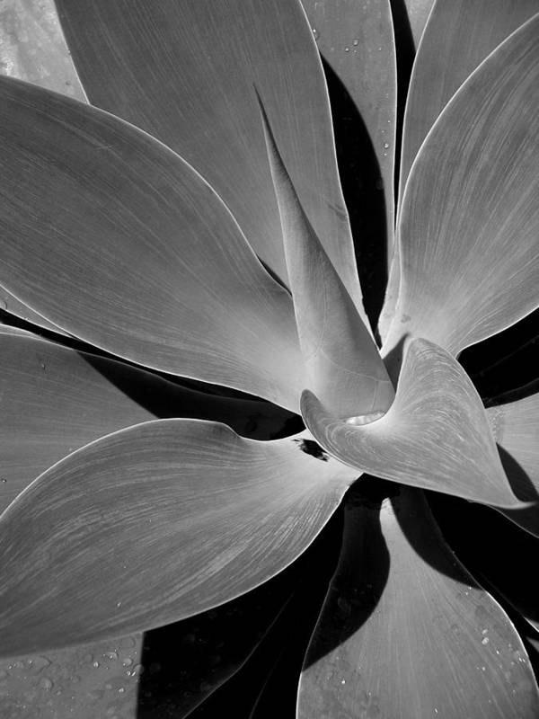 Succulents Poster featuring the photograph Succulent In Black And White by Karen Nicholson