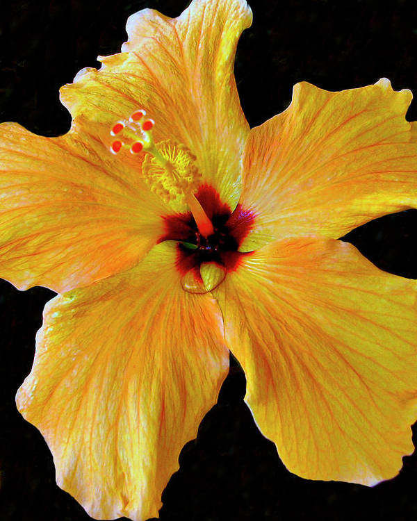 Hibiscus Poster featuring the pyrography Sun Dew by Lonnie Tapia