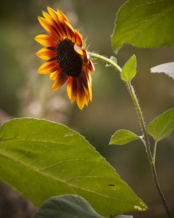 Flower Poster featuring the photograph Sun Flower by Chad Davis