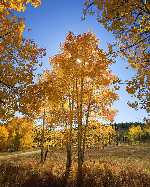 Aspen Poster featuring the photograph Sun Through Aspens by Ron Dahlquist - Printscapes