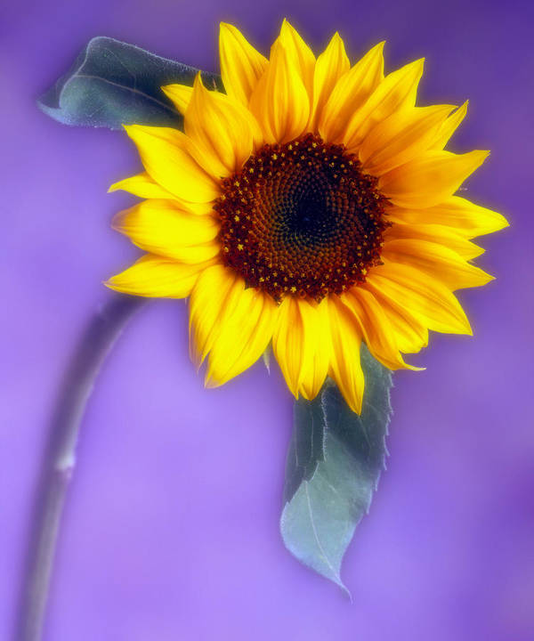 Flora Poster featuring the photograph Sunflower 1 by Joseph Gerges