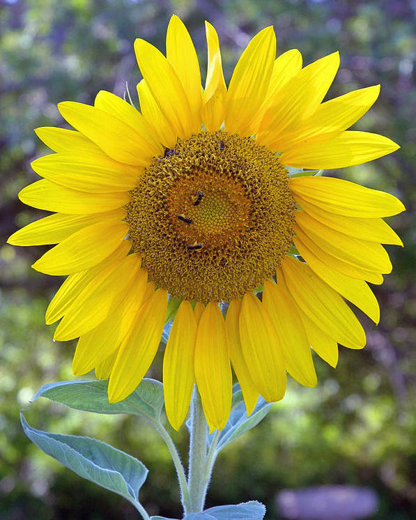 Sun .flower Poster featuring the photograph Sunflower 1 by Mickie Boothroyd