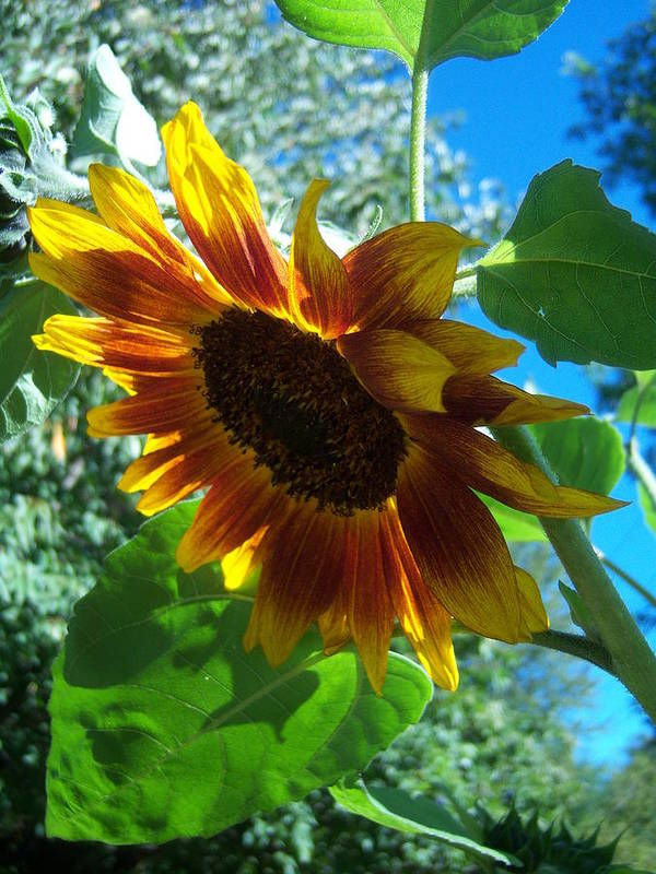 Sun Poster featuring the photograph Sunflower 121 by Ken Day