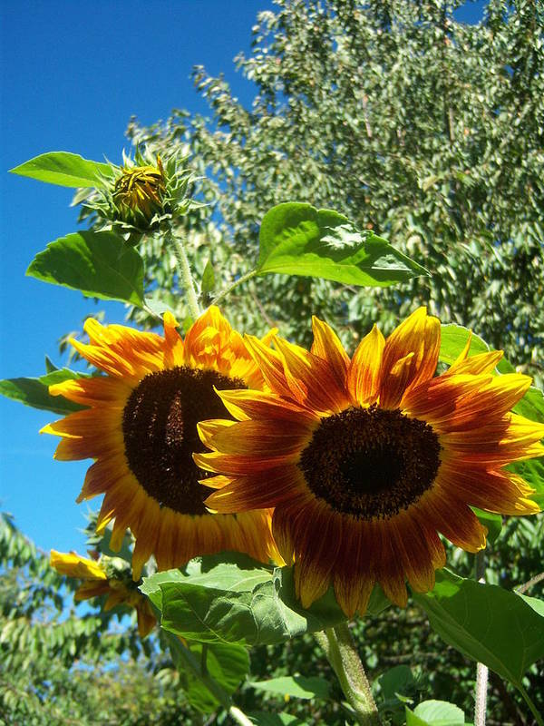 Sun Poster featuring the photograph Sunflower 132 by Ken Day