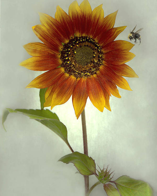 Sunflower Poster featuring the mixed media Sunflower And Bee by Sandi F Hutchins