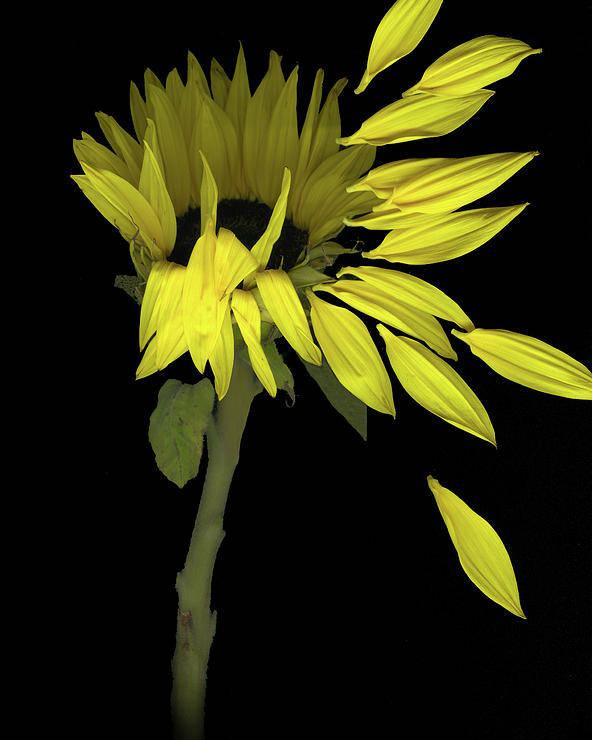 Sunflower Poster featuring the digital art Sunflower Breeze by Sandi F Hutchins