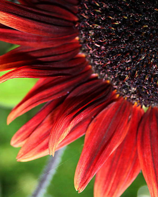 Red Poster featuring the photograph Sunflower by Carol Hicks