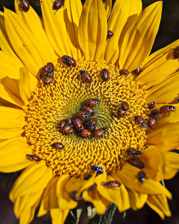 Ladybugs Ladybug Poster featuring the photograph Sunflower Covered In Ladybugs by Garry Gay