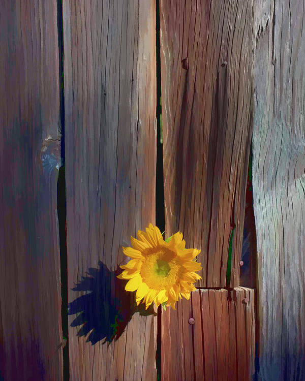 Sunflowers Together Sunflower Poster featuring the photograph Sunflower In Barn Wood by Garry Gay