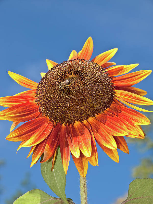 Beautiful Poster featuring the photograph Sunflower by Jim DeLillo