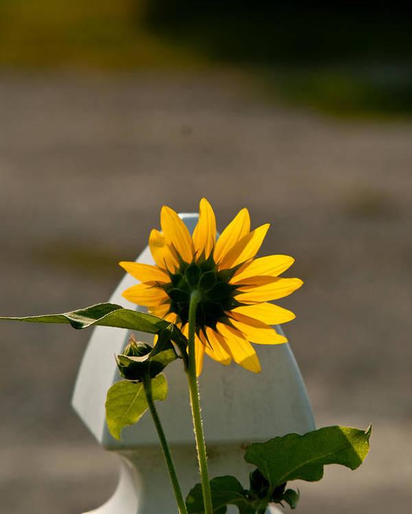 Sun Poster featuring the photograph Sunflower Morning by Douglas Barnett