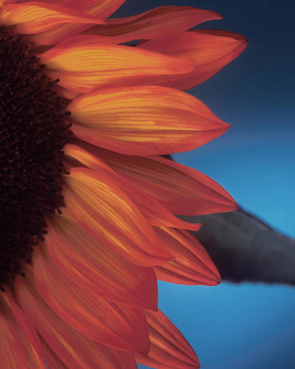 Sunflower Poster featuring the photograph Sunflower Study by Bob Coates