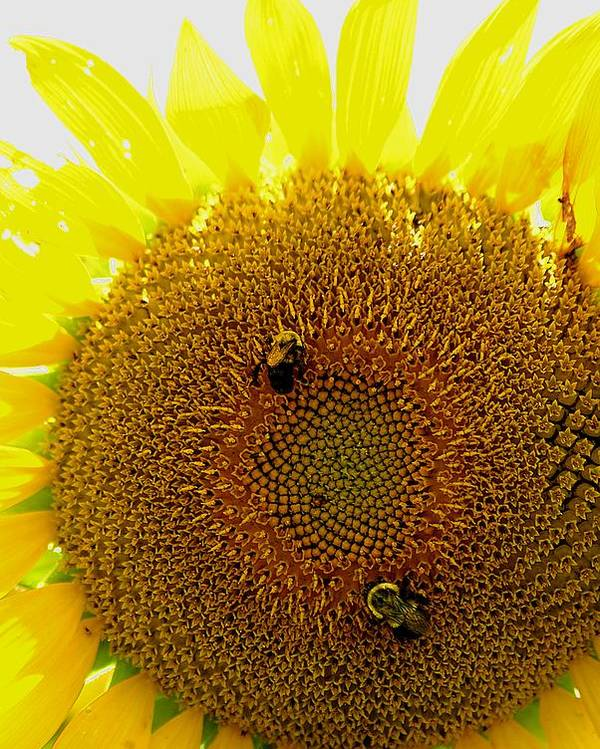 Sunflower Poster featuring the photograph Sunflower With Bees by Bob Guthridge