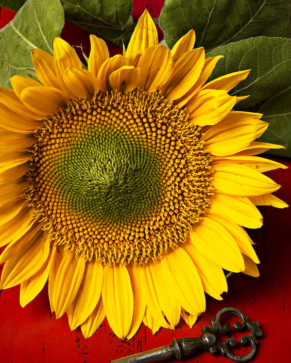 Sunflower Poster featuring the photograph Sunflower With Old Key by Garry Gay