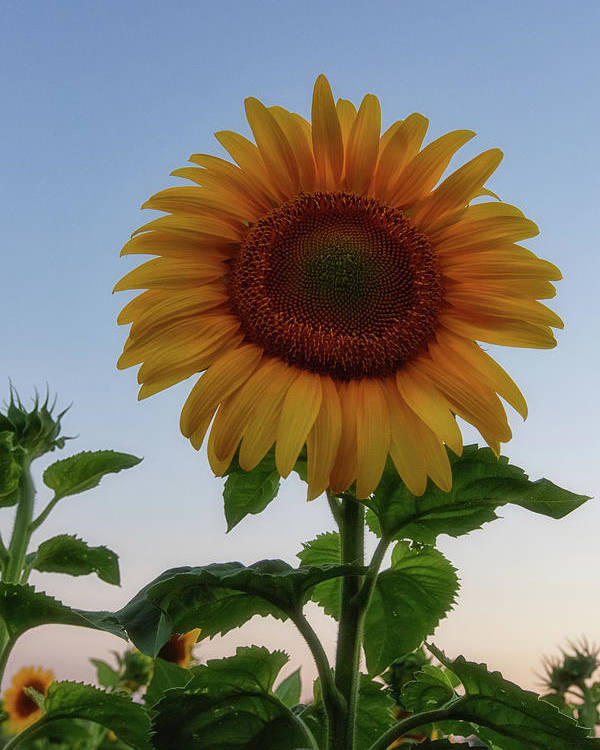 Sunflowers Poster featuring the photograph Sunflowers 4 by Heather Kenward