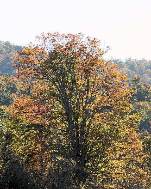 Trees Poster featuring the photograph Sunlight On Autumn Foliage by Carolyn Postelwait