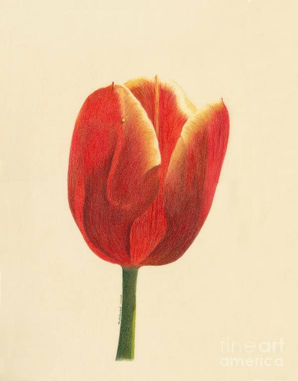 Tulip Poster featuring the drawing Sunlit Tulip by Phyllis Howard