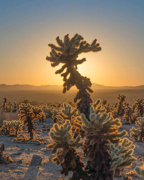 Joshua Tree National Park Poster featuring the photograph Sunrise Cholla by Joseph Smith