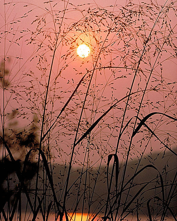 Sun Poster featuring the photograph Sunrise Through The Tall Grass by Thomas Firak