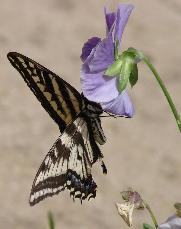 Butterfly Poster featuring the photograph Swallowtail by Liz Vernand