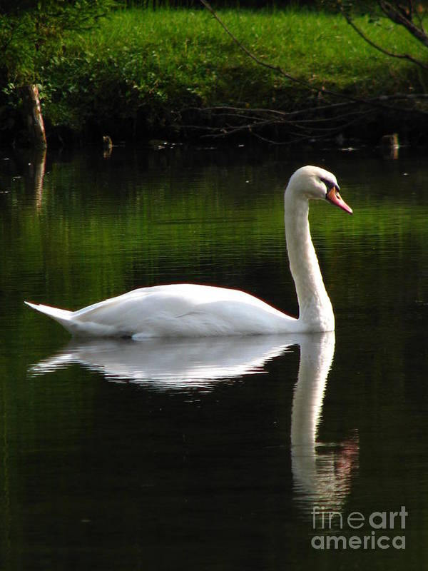 Swan Poster featuring the photograph Swan Reflected by Jeff White