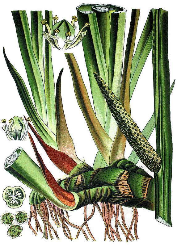 Sweet Flag Or Calamus Poster featuring the drawing Sweet Flag Or Calamus, Acorus Calamus by Bildagentur-online