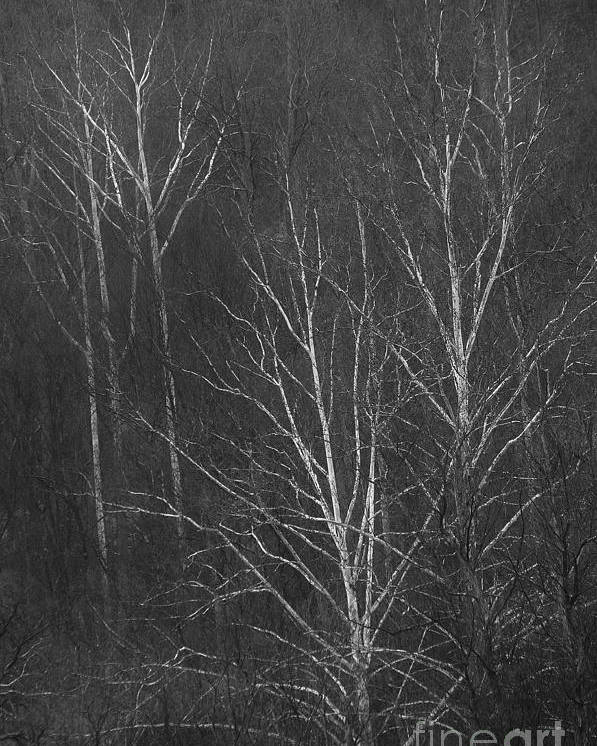 Sycamore Poster featuring the photograph Sycamore Series 1 by Krista Hott