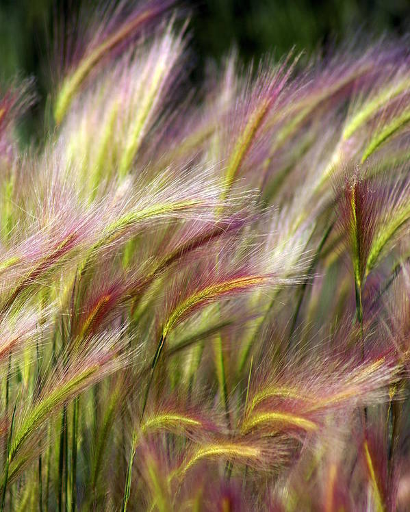Plants Poster featuring the photograph Tall Grass by Marty Koch