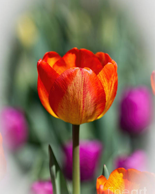 Floral Poster featuring the photograph Tall Tulip Vertical by Terry Weaver