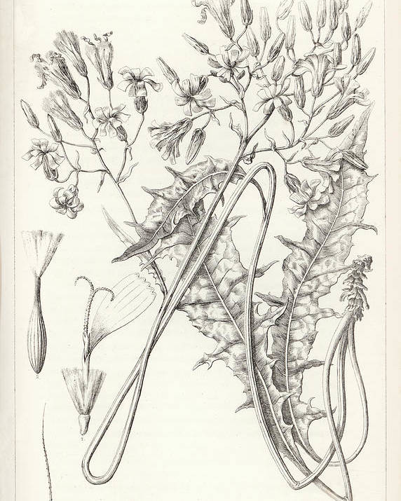 Amazing Antoine Sonrel Poster Featuring The Drawing Taper Tip Hawksbeard, Crepis  Acuminate By Antoine Sonrel