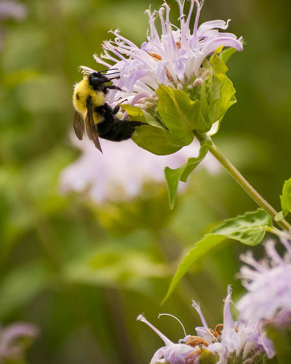 Bumble Bee Poster featuring the photograph The Bumble Bee by Chad Davis