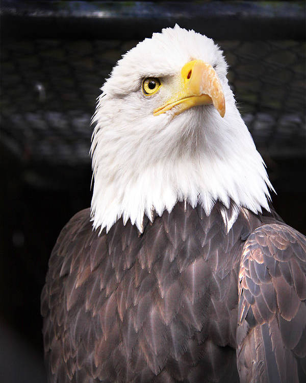 Bald Eagle Poster featuring the photograph The Commander by Julius Reque