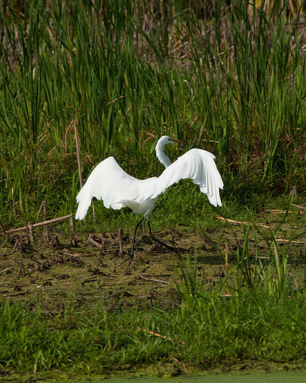Egret Poster featuring the photograph The Egret Has Landed by Matt Steffen