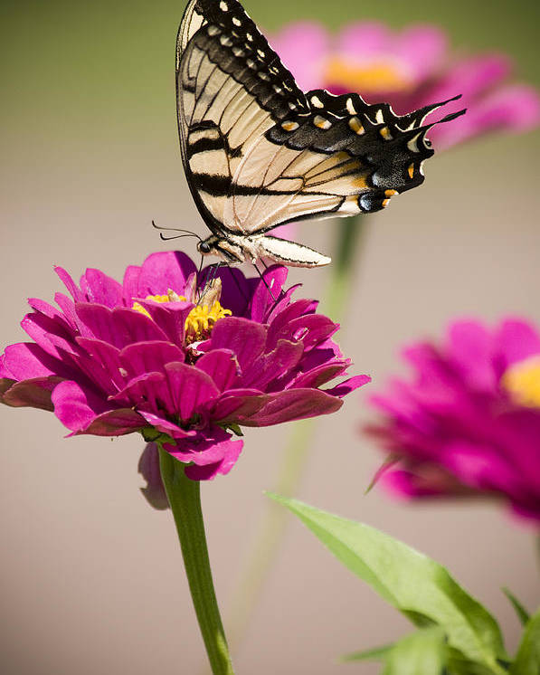 Butterfly Poster featuring the photograph The Flower And Butterfly by Chad Davis