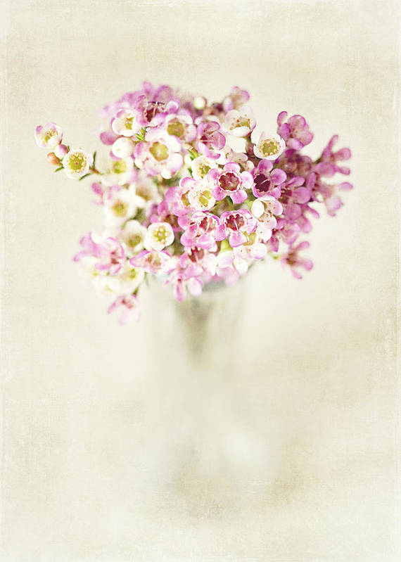 Wax Flower Poster featuring the photograph The Gift by Lisa Russo