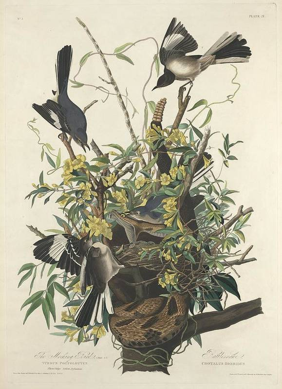 Audubon Poster featuring the drawing The Mockingbird by Dreyer Wildlife Print Collections