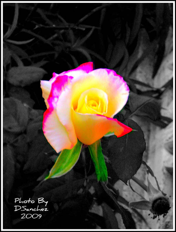 Flower Poster featuring the photograph The Rose by Doug Sanchez
