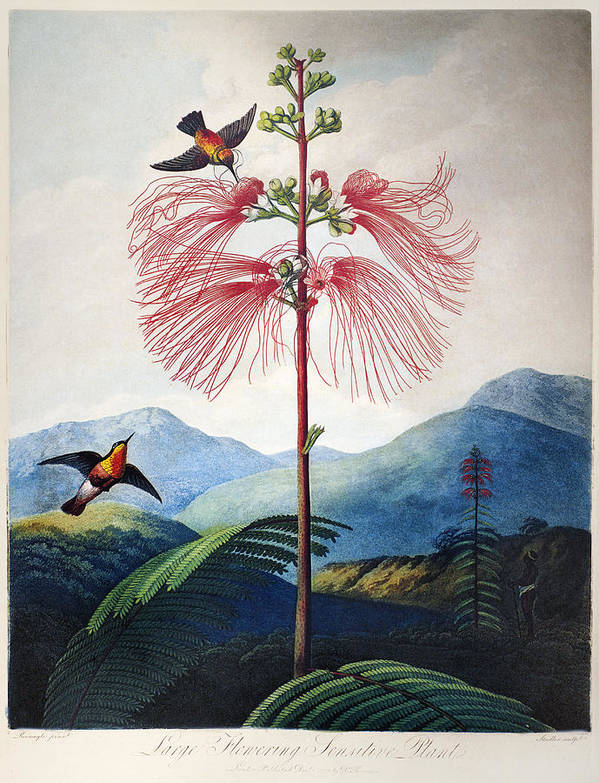 1799 Poster featuring the photograph Thornton: Sensitive Plant by Granger