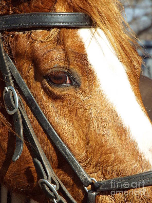 Horse Poster featuring the photograph Those Big Brown Eyes by Caryl J Bohn