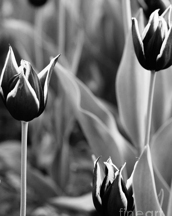 Tulips Poster featuring the photograph Three F A Kind by Jeffery L Bowers