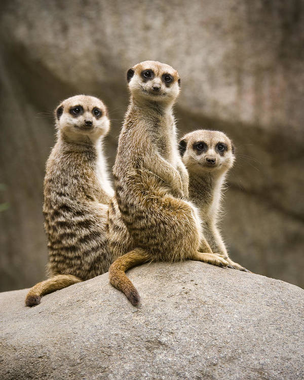 Chad Davis Poster featuring the photograph Three Meerkats by Chad Davis
