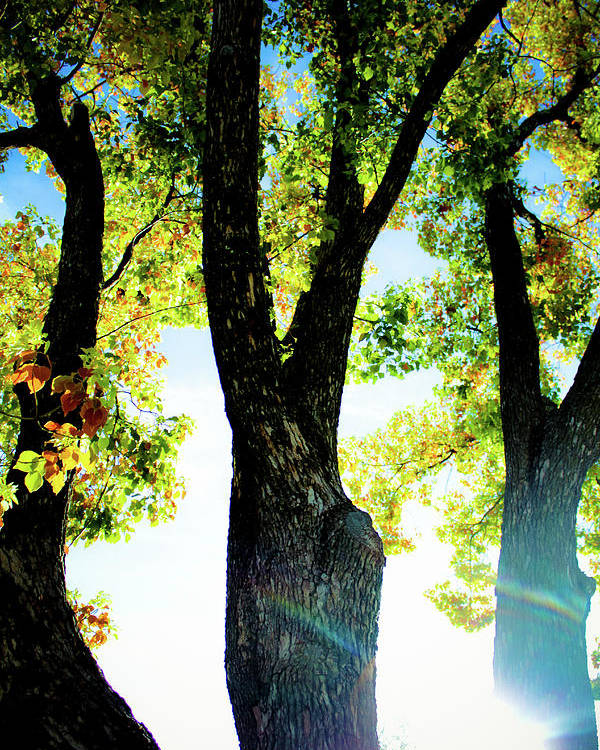 Landscape Poster featuring the photograph Three Tree Light by Jonah Vang
