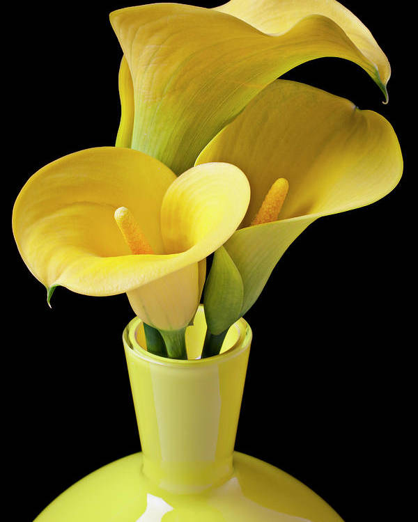 Calla Lily Poster featuring the photograph Three Yellow Calla Lilies by Garry Gay