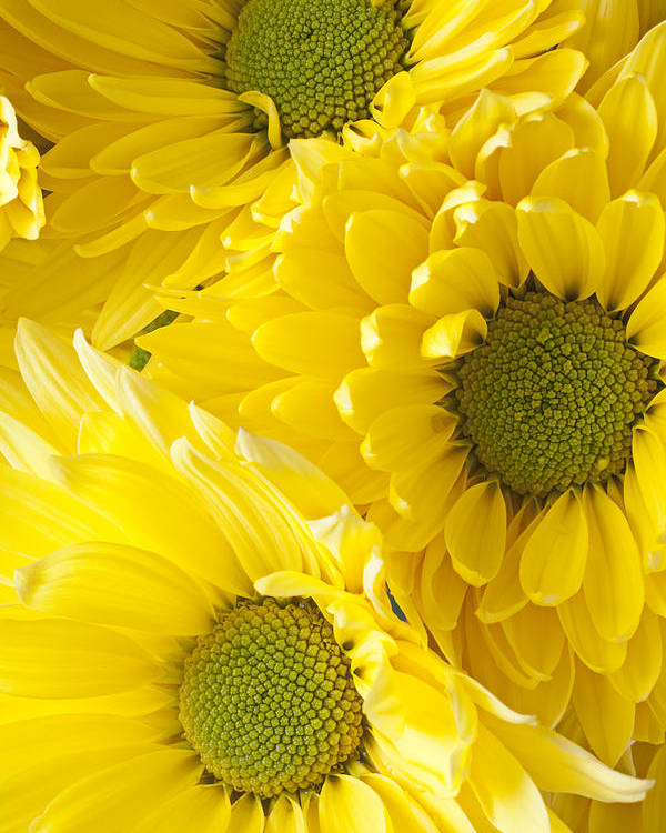 Three Yellow Daisies Mums Cremon Poster featuring the photograph Three Yellow Daisies by Garry Gay