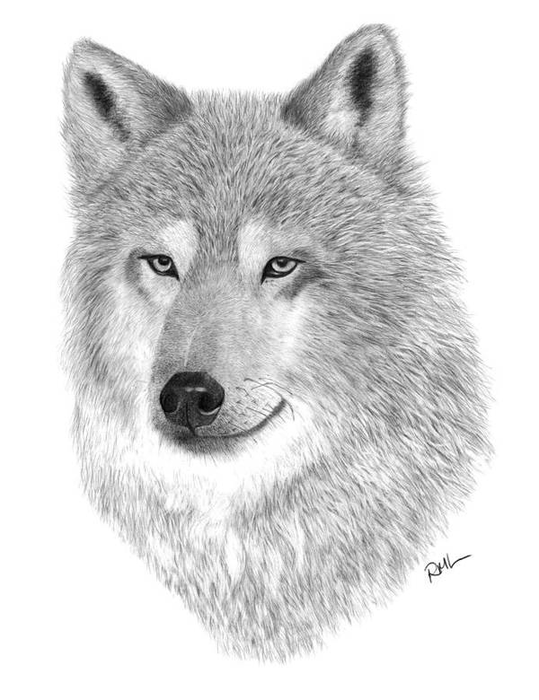 Wolf Drawing Poster featuring the drawing Timber Wolf by Rosanna Maria
