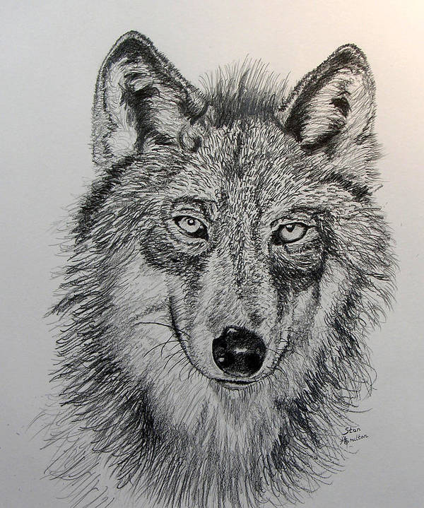 Original Drawing Poster featuring the drawing Timber Wolf by Stan Hamilton