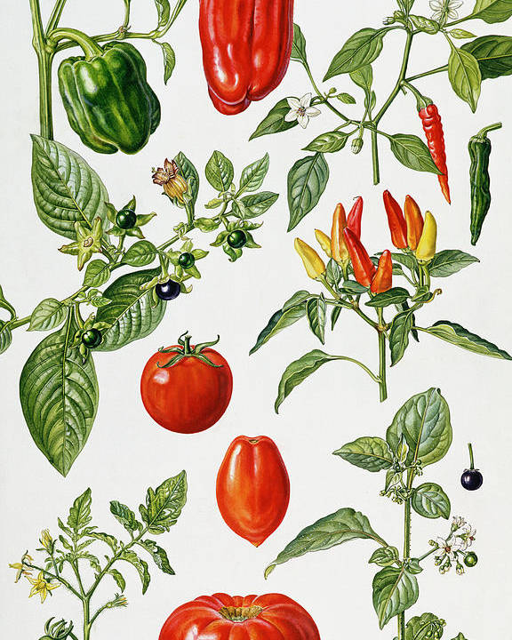 Green; Red; Pepper; Chilli; Deadly Nightshade; Plum; Beef; Huckleberry; Botanical; Piment; Piments; Vegetables; Pepper; Chillies; Plums; Leaf; Leafs; Flower Poster featuring the painting Tomatoes And Related Vegetables by Elizabeth Rice